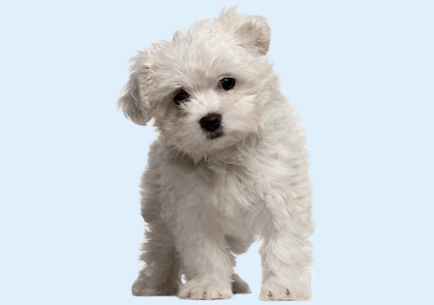 Maltese Puppies | Buy Puppy in Dubai | Happy Paws Dubai